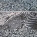 Dalle aux Ammonites